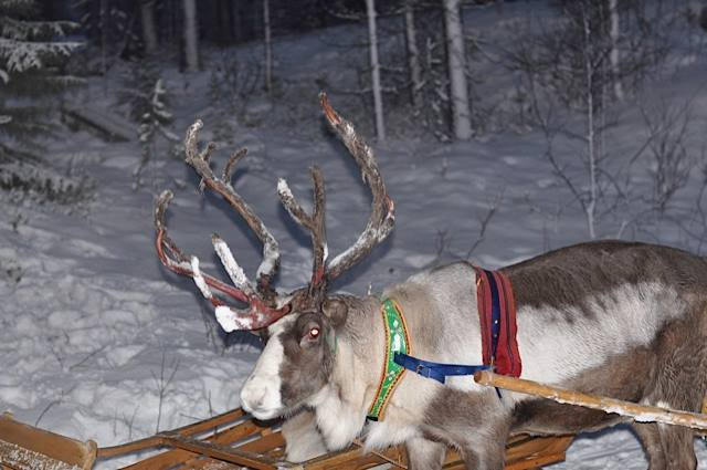 Children to lapland reindeer